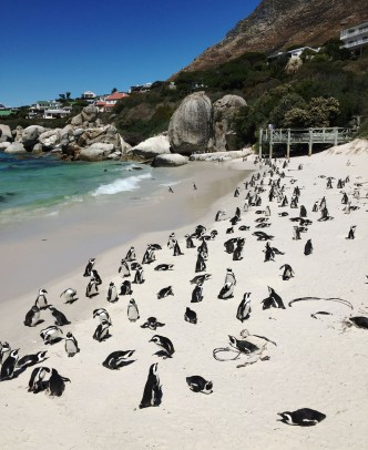 Cape Town penguins