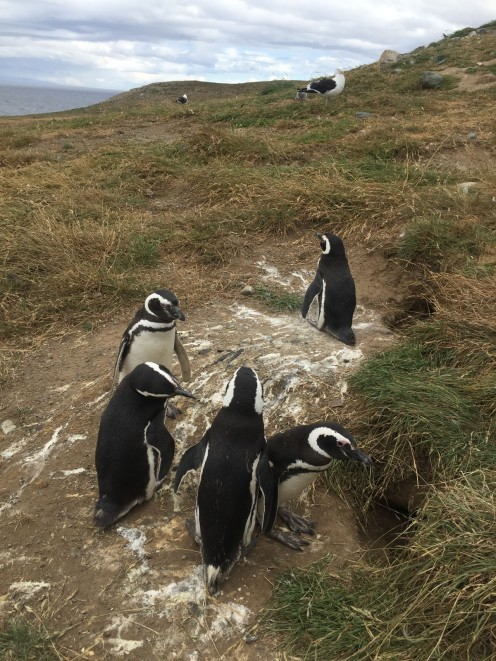 Magellanic penguins in Magdalena Island